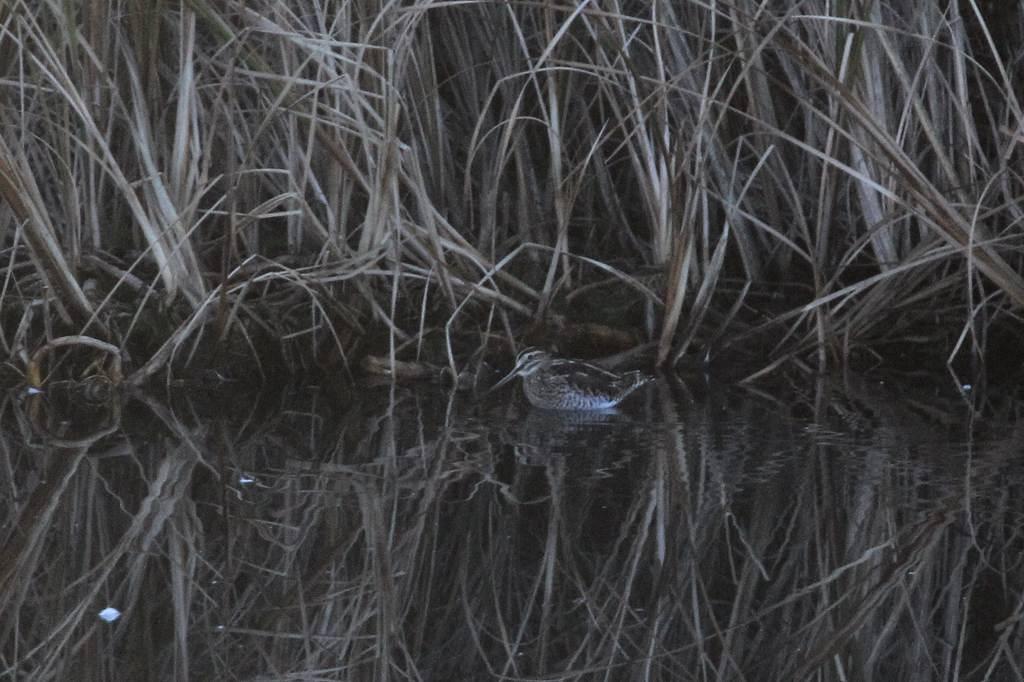 オーストラリアツバメ /アリスイとツグミ/水溜まりのタシギ_b0024798_15311457.jpg