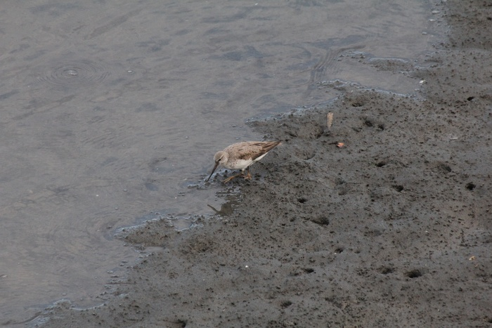 2012.8.4 東京港野鳥公園(3)キアシシギ、ソリハシシギ_c0269342_10131794.jpg
