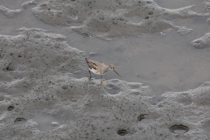 2012.8.4 東京港野鳥公園(3)キアシシギ、ソリハシシギ_c0269342_1013446.jpg