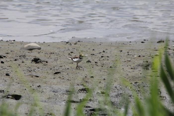 2012.8.4 東京港野鳥公園(2)ゴイサギ、コチドリ、セイタカシギ_c0269342_1053668.jpg