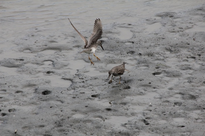 2012.8.4 東京港野鳥公園(3)キアシシギ、ソリハシシギ_c0269342_1085389.jpg