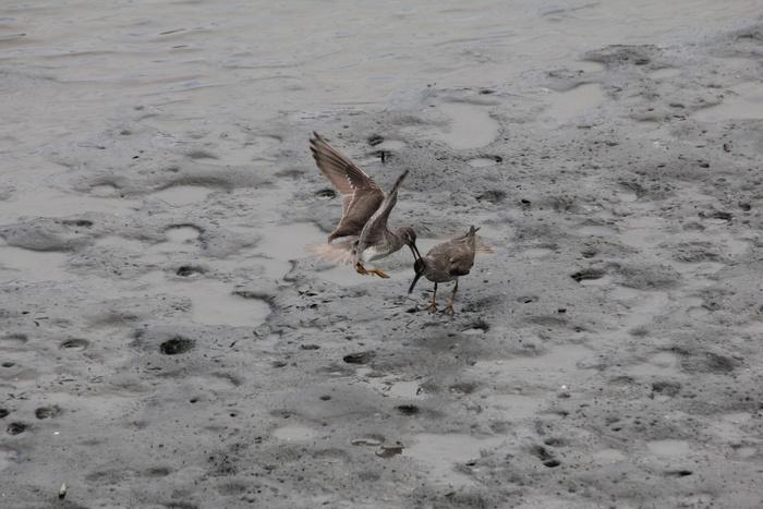 2012.8.4 東京港野鳥公園(3)キアシシギ、ソリハシシギ_c0269342_109245.jpg