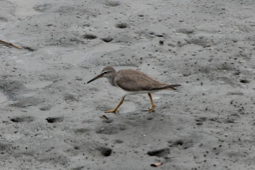 2012.8.4 東京港野鳥公園(3)キアシシギ、ソリハシシギ_c0269342_1095246.jpg
