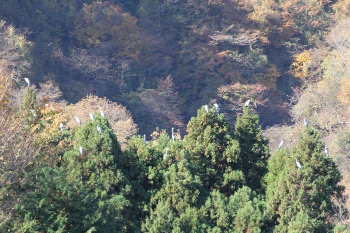 2012.11.25 早戸川林道(3)アオサギ_c0269342_14404018.jpg