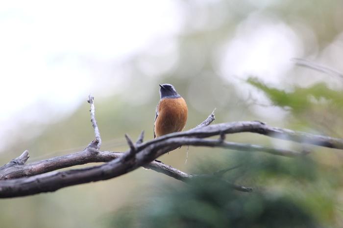 2012.10.20 早戸川林道・ジョウビタキ、ミサゴ、イカル_c0269342_20303331.jpg
