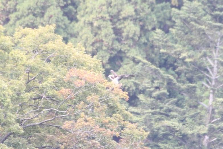 2012.10.20 早戸川林道・ジョウビタキ、ミサゴ、イカル_c0269342_2031307.jpg