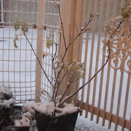 いよいよ雪です。エルダーフラワーにも雪が。_a0292194_2323369.jpg
