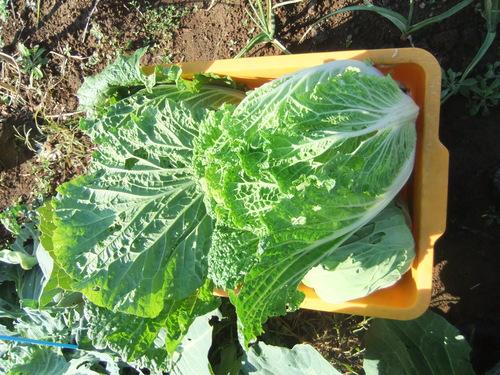 冬野菜....うまく成長しました。_b0137932_2020375.jpg