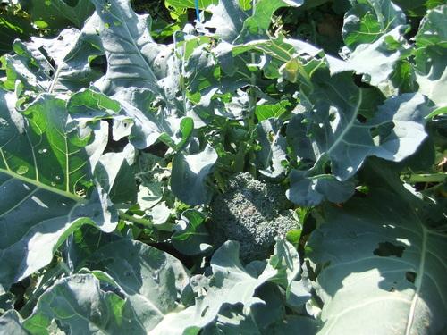 冬野菜....うまく成長しました。_b0137932_20214897.jpg
