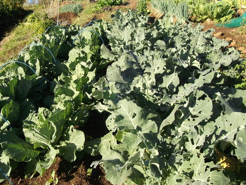 冬野菜....うまく成長しました。_b0137932_20484894.jpg
