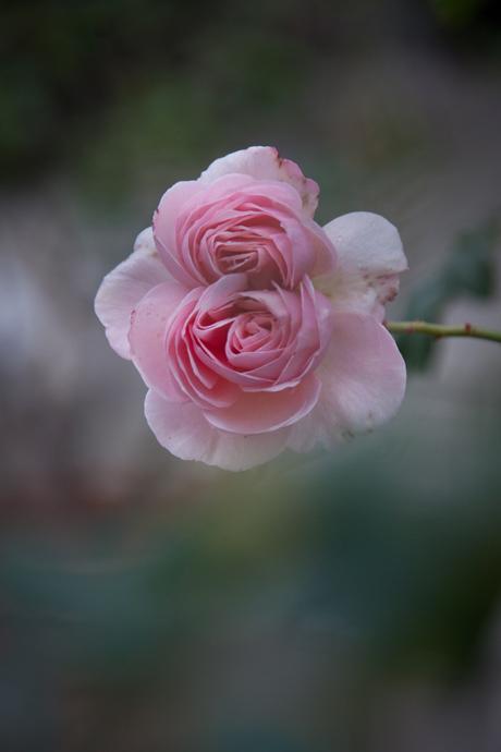 冬薔薇・2。_b0022268_20505688.jpg