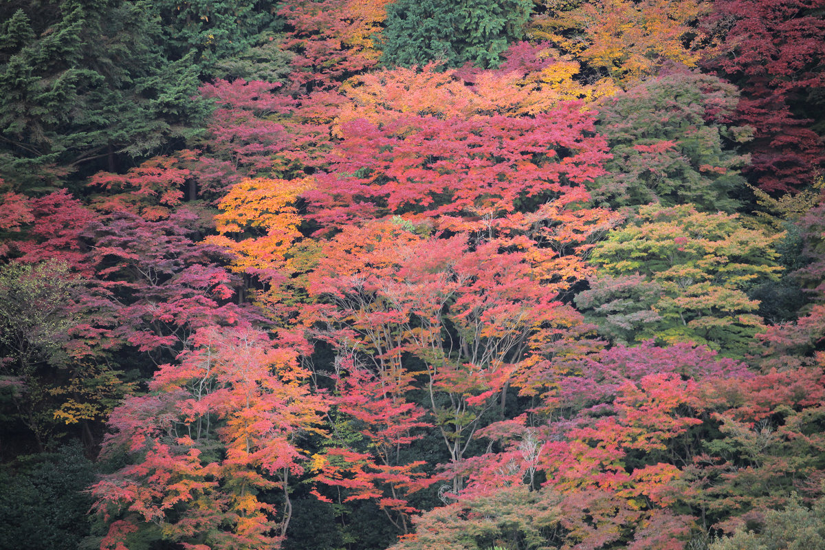 紅葉 2012  西山  善峯寺_f0021869_0252491.jpg