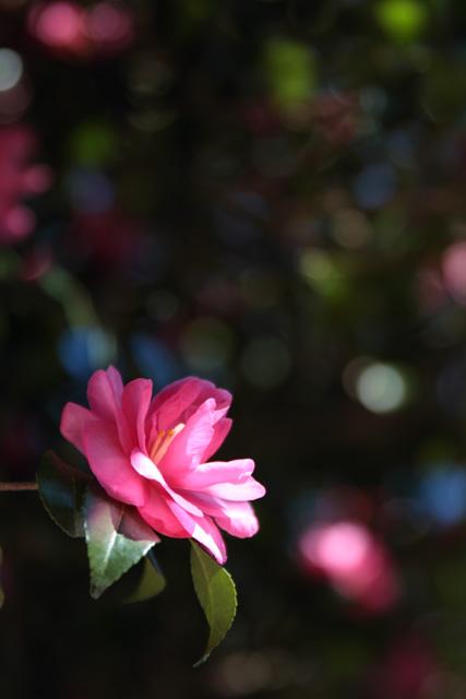 サザンカの咲く頃_d0251171_12351337.jpg