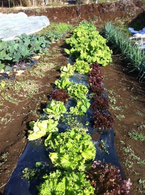 レタス&蕪&ほうれん草も今美味しい季節です・・。ご覧の通りです_c0222448_16134562.jpg