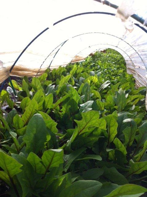 レタス&蕪&ほうれん草も今美味しい季節です・・。ご覧の通りです_c0222448_16135994.jpg