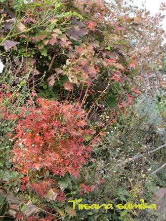小さな庭の紅葉(2)_a0243064_14164929.jpg
