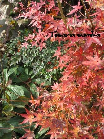 小さな庭の紅葉(2)_a0243064_14171015.jpg