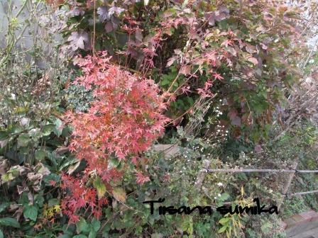 小さな庭の紅葉(2)_a0243064_14172434.jpg