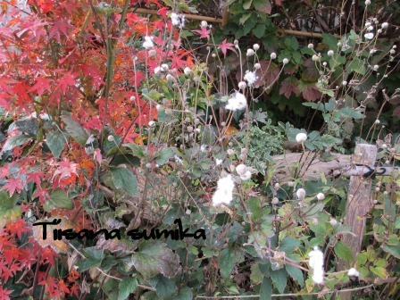 小さな庭の紅葉(2)_a0243064_14183897.jpg