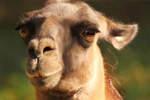 ラマ:Lama glama_b0249597_5191813.jpg