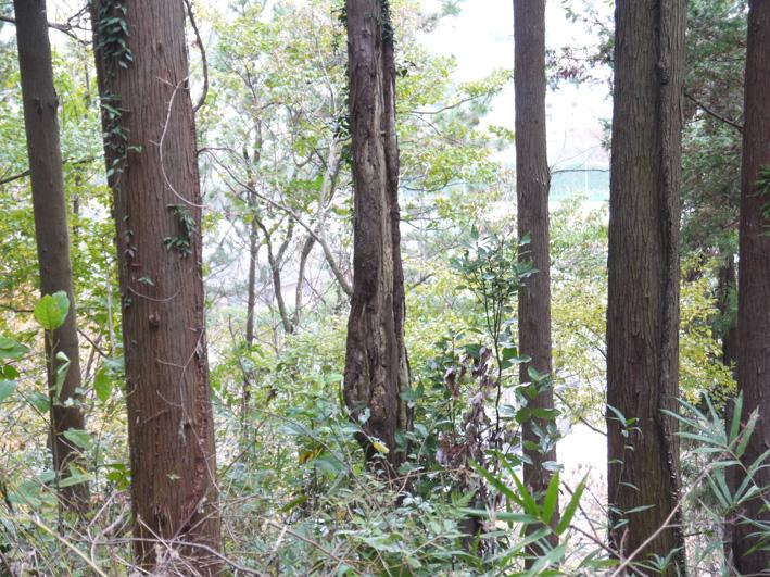 スギ、あまりに無残:11・28六国見山森林公園臨時手入れ_c0014967_872567.jpg