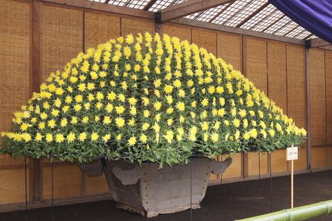 伝統の菊花壇展_b0172896_1032431.jpg
