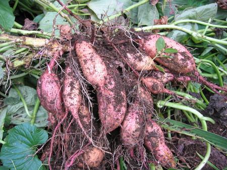 サツマイモの収穫_a0292194_11514827.jpg