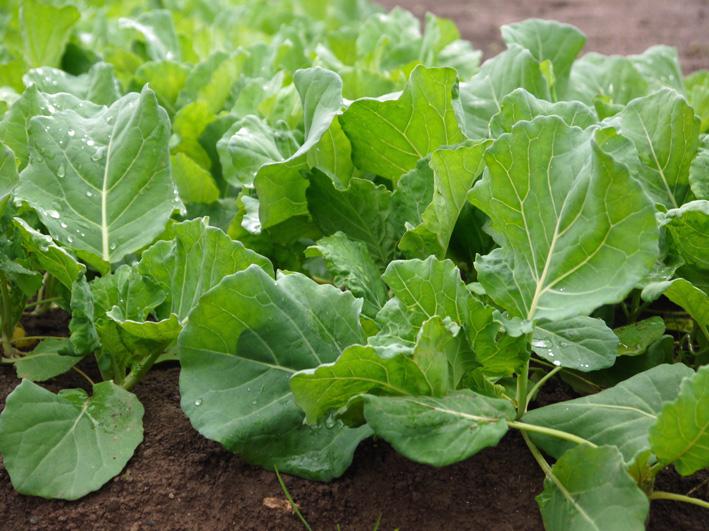 キャベツ(11・25)、ソラマメ(11・28)の苗の植え付け完了_c0014967_15183012.jpg