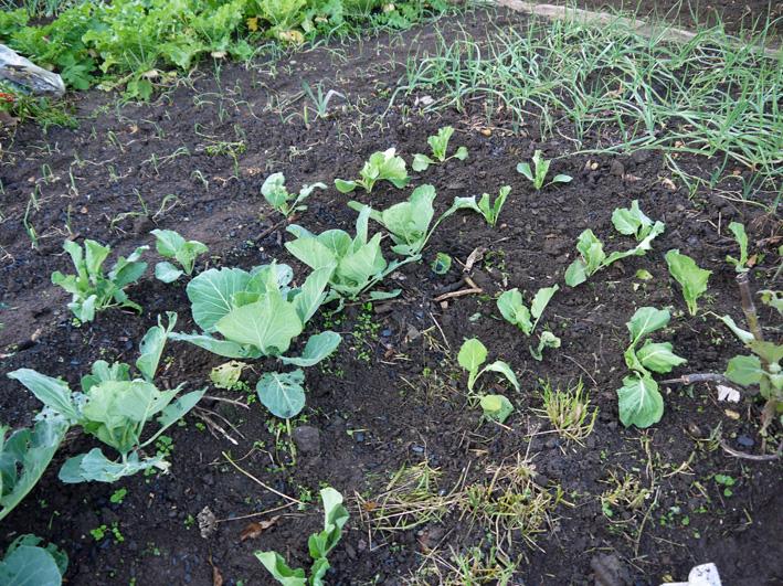 キャベツ(11・25)、ソラマメ(11・28)の苗の植え付け完了_c0014967_15192123.jpg