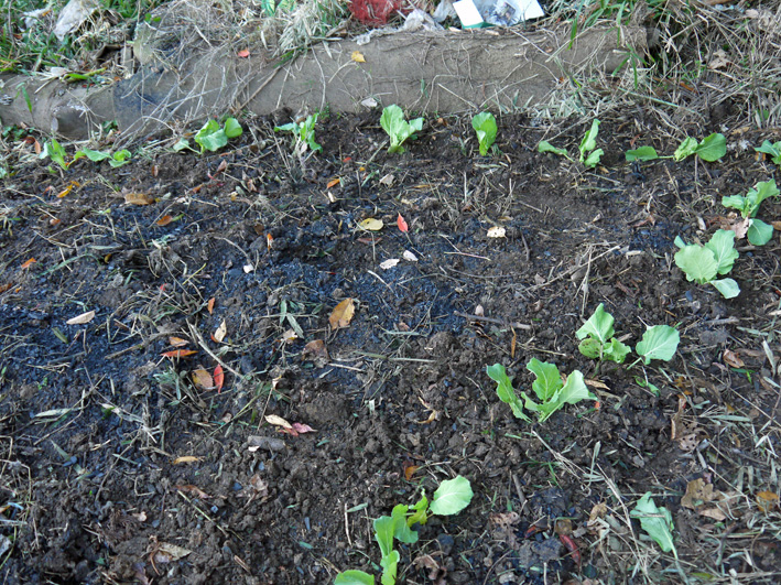 キャベツ(11・25)、ソラマメ(11・28)の苗の植え付け完了_c0014967_1524641.jpg