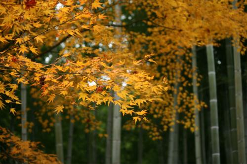 東福寺と嵯峨野の紅葉を楽しむ  京都_d0055236_21525674.jpg