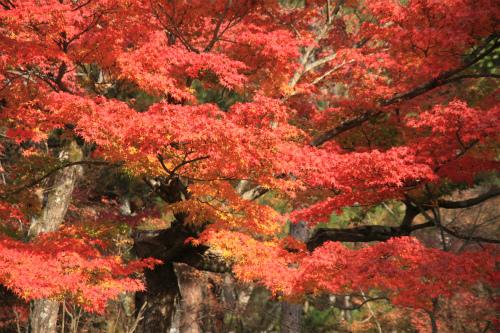 日吉神社・大原の紅葉   滋賀 京都_d0055236_22442562.jpg