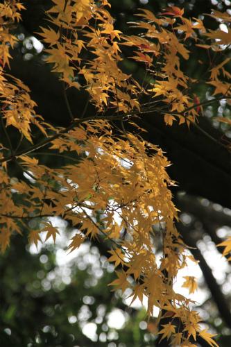 日吉神社・大原の紅葉   滋賀 京都_d0055236_22451261.jpg