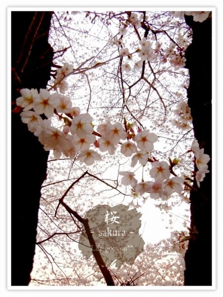 Oo。。 桜2012 5 。。oO_b0155684_22155829.jpg