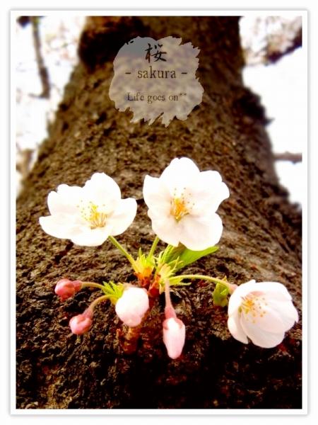 Oo。。 桜2012 5 。。oO_b0155684_22162633.jpg
