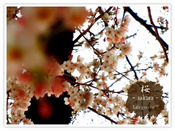 Oo。。 桜2012 5 。。oO_b0155684_22163595.jpg
