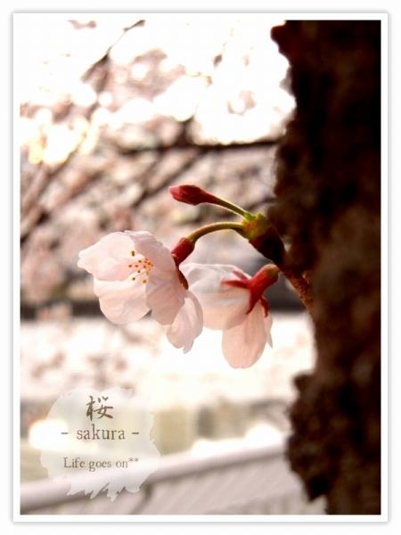 Oo。。 桜2012 5 。。oO_b0155684_2216615.jpg