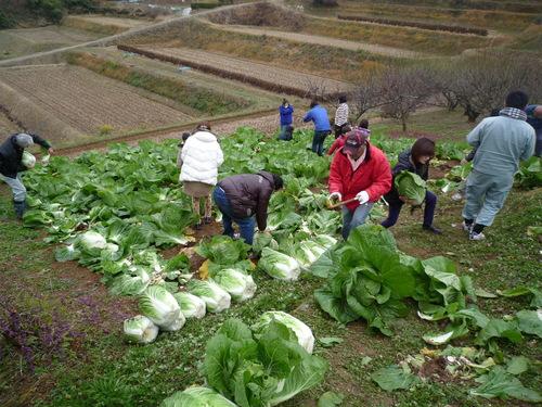 『円城白菜』収穫祭開催しました!_b0211845_1132873.jpg