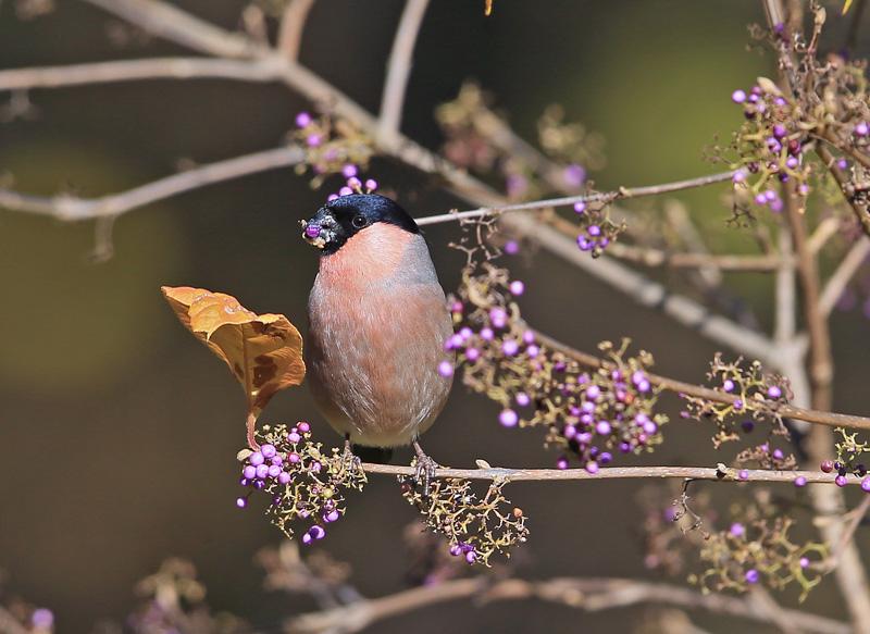 紫の実を口いっぱいに「アカウソ雄・雌」さん♪_d0195897_11453933.jpg
