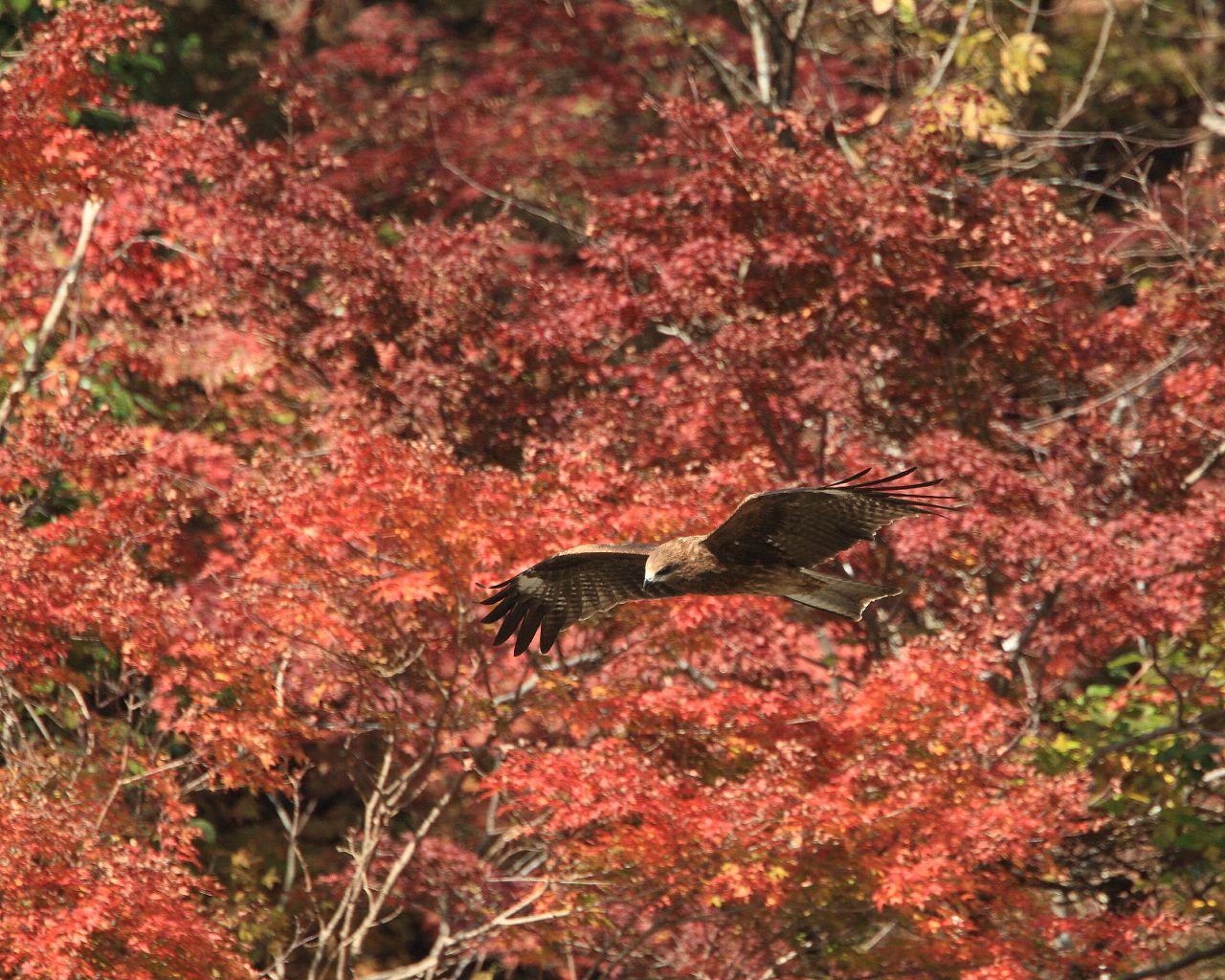 紅葉を背景に飛ぶトビ_f0105570_215386.jpg