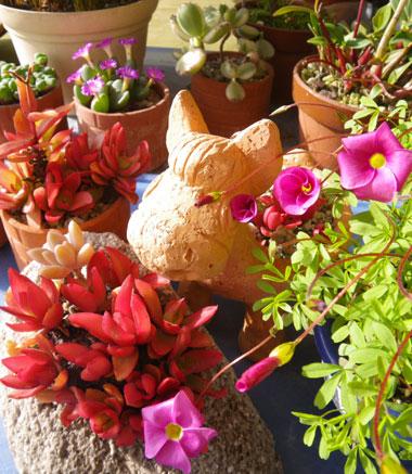 オキザリス桃の輝き、ミャンハウス、庭の様子など_a0136293_9441474.jpg