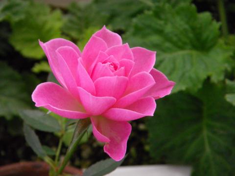 オキザリス桃の輝き、ミャンハウス、庭の様子など_a0136293_9455825.jpg