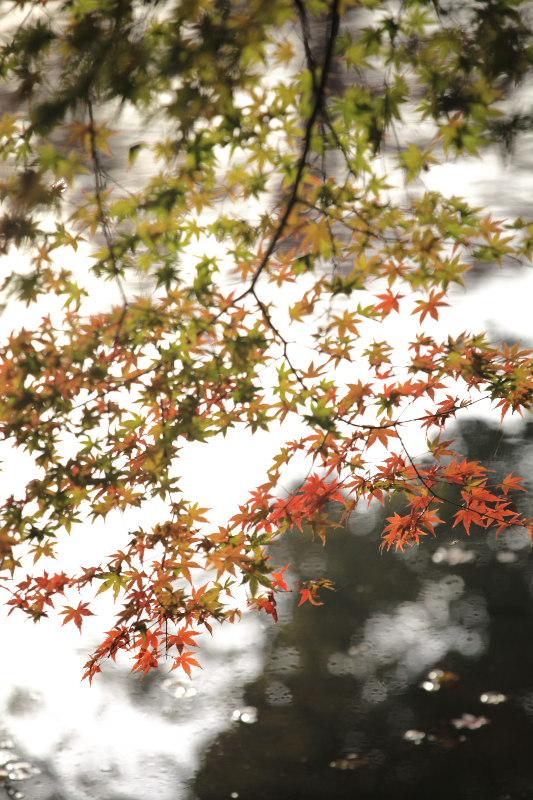紅葉 2012  京都府立植物園_f0021869_2247826.jpg