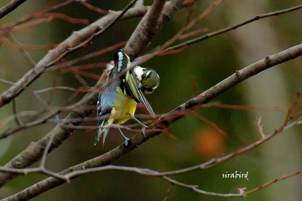 キバラガラ(迷鳥 カラ類)_d0238245_10381492.jpg