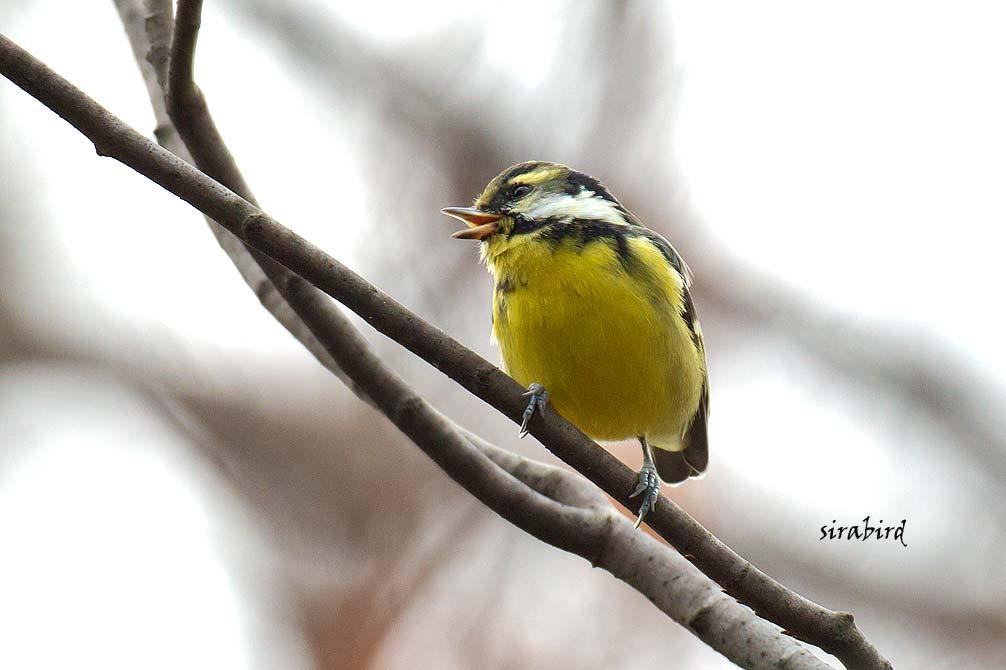 キバラガラ(迷鳥 カラ類)_d0238245_1038283.jpg
