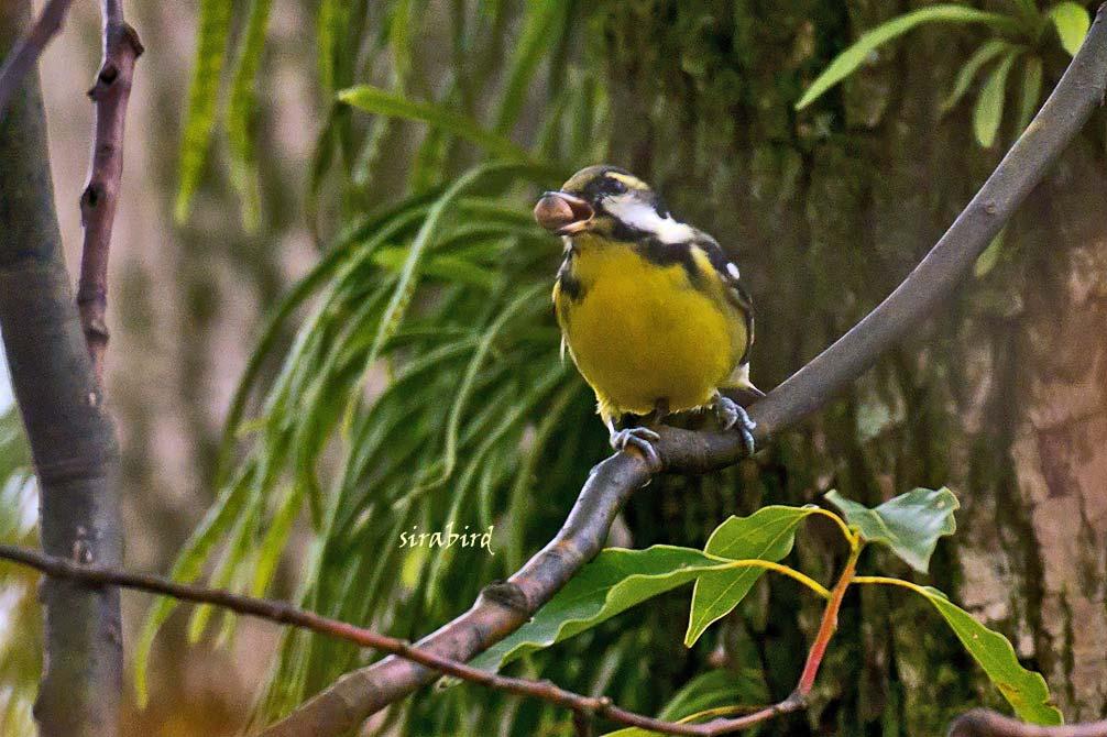 キバラガラ(迷鳥 カラ類)_d0238245_1038564.jpg