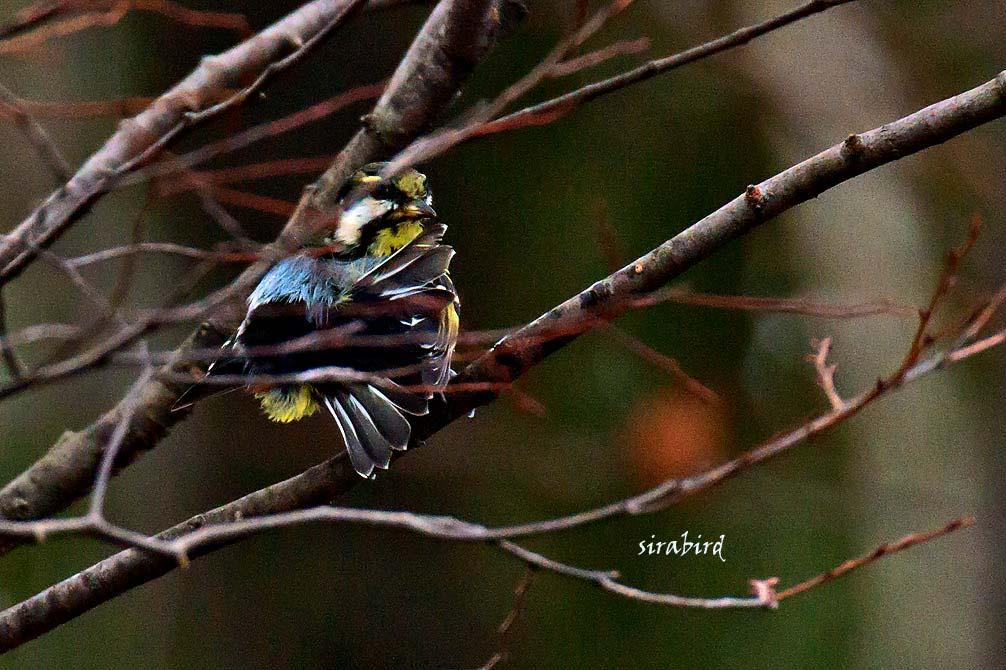 キバラガラ(迷鳥 カラ類)_d0238245_11483985.jpg