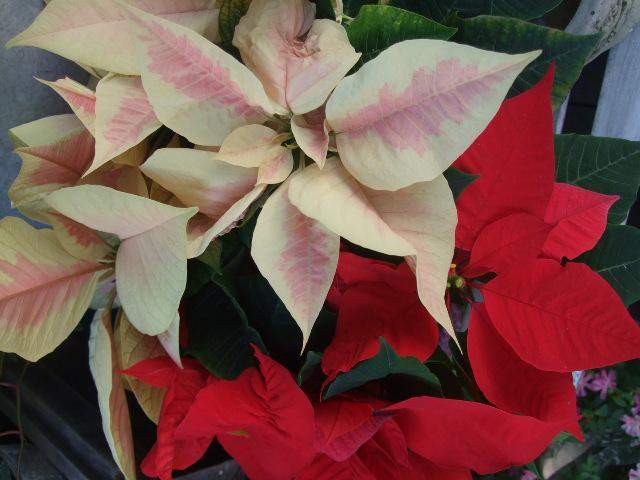 オークリーフ(クリスマス一色)_f0049672_92303.jpg