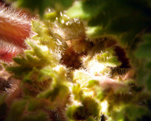 プリムラ31と、雲南桜草にツボミを確認♪_a0136293_13432576.jpg