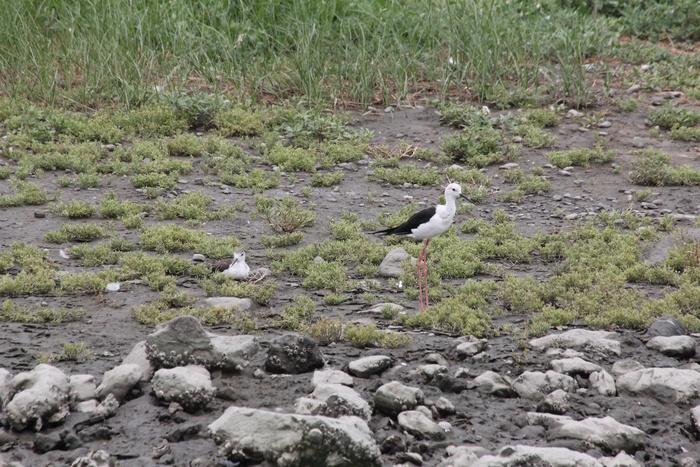 2012.8.4 東京港野鳥公園(2)ゴイサギ、コチドリ、セイタカシギ_c0269342_1391334.jpg